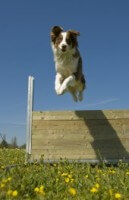 Jumping Dog 095d723e42f208c01d7b747ca7bded13