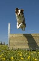 Jumping Dog 095d723e42f208c01d7b747ca7bded13
