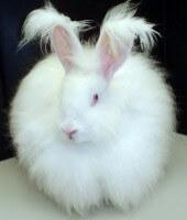 Angora Rabbit 5a58bfe7bb4edfe9aa8d8ae7d9493a47