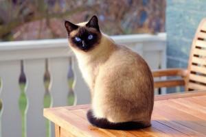 Blue Eye Cat 594a4513cb6f01c2799484f5c4fa3a89