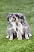Blue Heeler Puppies Faf8d7df70bdb875dabdc7de72f56ce7