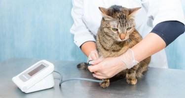 Cat Blood Pressure B3739a5458bdefd7a4de5be506e78cad