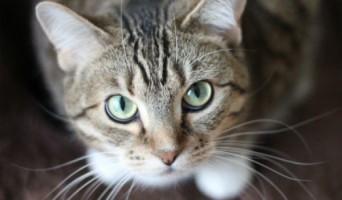 Cat Staring 6c4642cf0e30d2c32ad04bc5bab2d63c