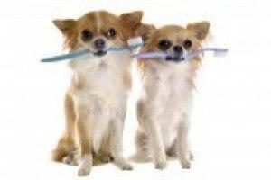 Chihuahuas With Toothbrush 0c0478dc945749ab80bd97881eaacf2e
