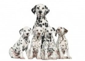 Dalmation With Pups Eec734a8bdf5f2d02a6ba83aeaa64cbb