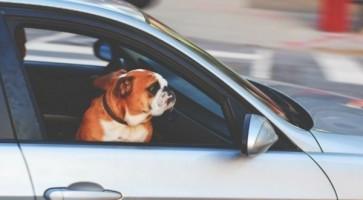 Dog In Car 8110a71d6ce51599e6548d81dbc9eaa2