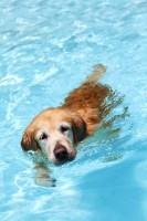 Dog In Pool A988e5ed4d5c730cdaf6790a1c7d9726