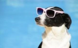 Dog With Sunnies 283612a8bdcafe4fe91f353643af082e