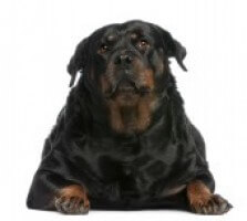 Fat Rotty Ea59714805a83d42292c35e6acf0ae98