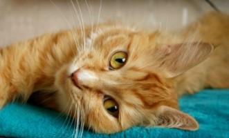Ginger Cat 597da03dea5ac929380c636c603e0c7b