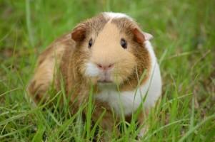 Guinea Pig 66730ec691c03a911b43a9d397bfa01d