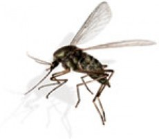 Heartworm Mosquito Ecc2cbe93939e5eee72df609598d4c2e