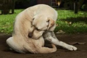 Itchy Labrador Acc55e7a5b19573d26d98c654f1100df