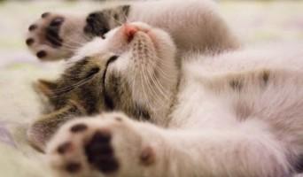 Kitten On Back 24c5f3d560a12999f1c9aae46cb2669a