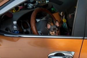 Little Dog In Car B266098e9cb27dcd8812aa1b2350186e