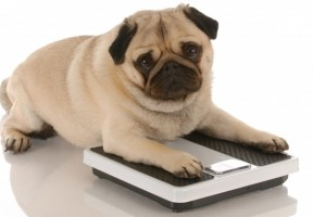Pug On Scales 1367b8ecd9036290c605da0e9fecd0aa