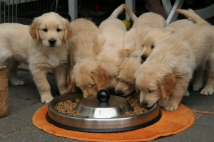Puppies Eating 9501092e9069f13724fbab0d55837292