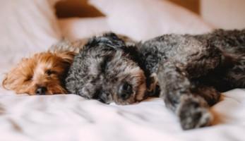 Sleepy Dogs 3e0a0ac69ffdd5d568a6a5f38998e60f