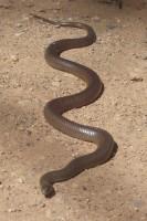 Snake C8525673448cd59d4a4ab1bcd215ca38